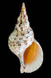 Triton trumpet or Charonia tritonis seashell Stock Image