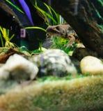 Tritone al carro armato di pesce fotografie stock libere da diritti