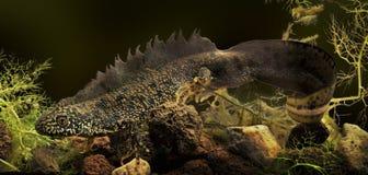 Tritone o drago di acqua crestato Fotografia Stock