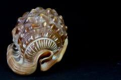 Tritonshorn der schönen Formen lizenzfreie stockbilder