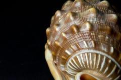 Tritonshorn der schönen Formen und der Farben lizenzfreie stockbilder