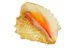 Tritonshorn-Shell Stockbild