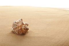 Tritonshorn-Shell auf dem Strand Stockfoto