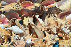 Tritonshorn Shell Collage in Ocho Rios, Jamaika stockbild