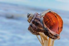 Tritonshornmuschel Stockfoto