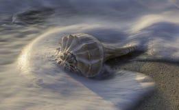 Tritonshornoberteil auf Strand bei Sonnenaufgang stockbilder