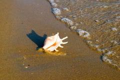 Tritonshornshell auf Strand mit Wellen lizenzfreie stockfotos