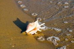Tritonshornshell auf Strand mit Wellen lizenzfreies stockfoto