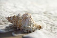 Tritonshornshell in den Wellen. lizenzfreie stockfotos