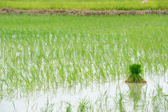 Tritt Reisfeld von Thailand. Stockfotografie