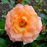 Triturador Floribunda Rose del día fotos de archivo