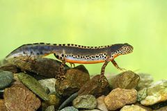 Triturus alpestris Stock Photos