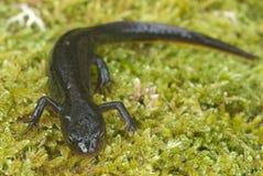 Triturus boscai, Lissotriton boscai, Triton, amfibia, zdjęcie stock