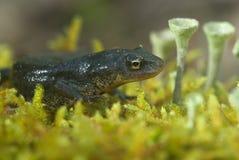 Triturus boscai, Lissotriton boscai, Triton, ochraniał gatunki zdjęcie royalty free