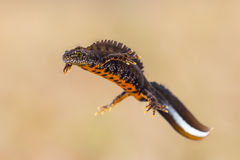 Triturus cristatus. Close-up of a male great crested newt (Triturus cristatus Royalty Free Stock Photography