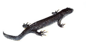 Triturus cristatus, Great Crested Newt Royalty Free Stock Photography