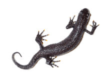 Triturus cristatus, Great Crested Newt royalty free stock photos