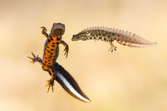 Triturus cristatus and Lissotriton vulgaris. Male great crested newt (Triturus cristatus) and male smooth newt (Lissotriton vulgaris Stock Photo