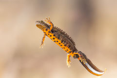 Triturus cristatus. Ventral view of a male great crested newt (Triturus cristatus Stock Image