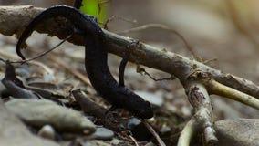Triturus terrestre juvénile de triton pendant d'une branche et se déplaçant lentement entre les feuilles clips vidéos