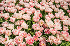 Triumph dei tulipani Akela Immagine Stock