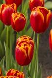 Triumph-'Fliegen-Drache-' Tulpen Lizenzfreie Stockbilder