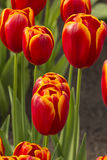 Triumph 'Flying Dragon' Tulips. Triumph 'Flying Dragon' red and yellow tulips Royalty Free Stock Images