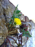Triumph of the nature. A flower growing in a hollow of the wall Stock Photo