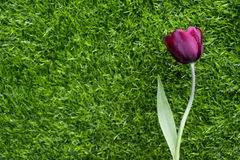 Triumph Tulip (Ronaldo). Impressive Tulip with dark purple smoky blooms Royalty Free Stock Photo