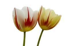 Triumph Tulipa Carnaval De Rio Foto de Stock