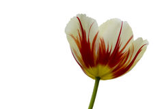 Triumph Tulipa Carnaval De Rio Fotografia de Stock Royalty Free