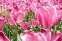 Triumph tulipan obrazy stock