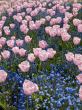 Triumph tulips. Pink Triumph tulips of Salmon Jewel kind blossom among forget-me-nots Stock Images