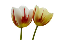 Triumph Tulips Carnaval De Rio. Triumph Tulips on a white background isolated Stock Photo