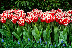 Triumph Tulips. Red truimph tulip bed with blue hyacinths (muscari Royalty Free Stock Photos