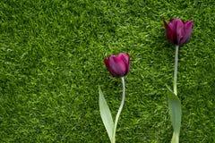 Triumph Tulips (Ronaldo). Impressive Tulip with dark purple smoky blooms Stock Image