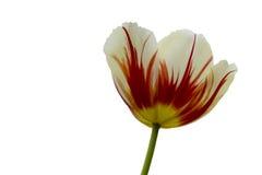 Triumph-Tulpen Carnaval De Rio Lizenzfreie Stockfotografie