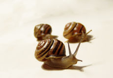 Triumvirate. Three snails - one taking the lead Royalty Free Stock Images