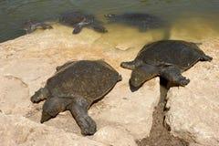 Нил обстреливал мягкую черепаху triunguis trionyx Стоковая Фотография