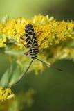 Trivellatore della locusta (robiniae di Megacyllene) Fotografia Stock