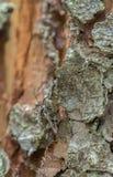 Trivellatori costolati accoppiamento del pino, inquisitore di rhagium su legno Fotografia Stock Libera da Diritti