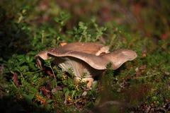乳菇属trivialis在寒带草原 库存照片