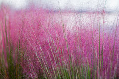 Trivialis púrpura Imagenes de archivo