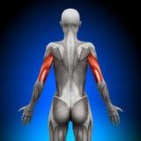 Trizeps - weibliche Anatomie-Muskeln stock abbildung