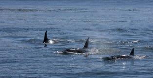 Trío de la orca Foto de archivo libre de regalías