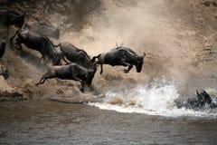 tro kenya hoppar wildebeesten Arkivfoto