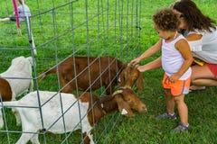 Trocas de carícias da criança Billy Goat no jardim zoológico de trocas de carícias no Toque-UM-caminhão anual imagens de stock