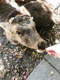 Trocas de carícias fêmeas da mão da menina um cervo bonito em Nara, Japão imagem de stock