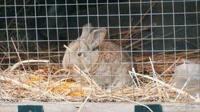 Trochę niedawno znoszący królik je w klatce zbiory