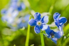 trochę błękitny kwiat obraz royalty free